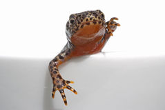 Alpine newt Stock Photo