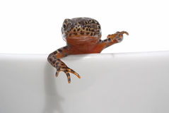 Alpine newt Royalty Free Stock Photos