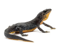 Alpine Newt, Ichthyosaura alpestris Royalty Free Stock Photo