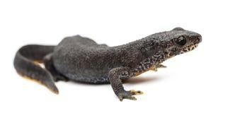 Alpine Newt, Ichthyosaura alpestris Royalty Free Stock Photos