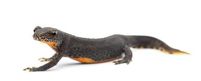 Alpine Newt, Ichthyosaura alpestris Stock Photos