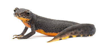 Alpine Newt, Ichthyosaura alpestris Stock Images