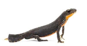Alpine Newt, Ichthyosaura alpestris Stock Image