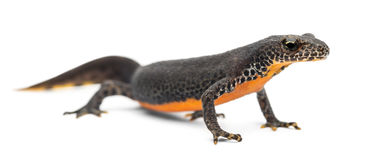 Alpine Newt, Ichthyosaura alpestris Royalty Free Stock Photos