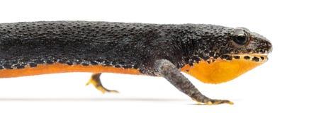 Alpine Newt, Ichthyosaura alpestris Royalty Free Stock Images