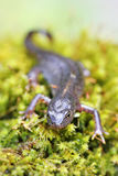 Alpine newt macro on green moss Royalty Free Stock Photography