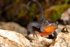 Alpine newt Mesotriton alpestris near Cotos, Madrid, Spain Royalty Free Stock Image
