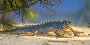 Alpine Newt in a pool Royalty Free Stock Image