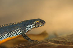 Alpine newt Royalty Free Stock Images