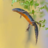 Alpine Newt with yellow background Royalty Free Stock Photography