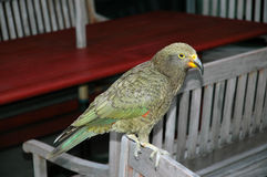 Alpine parrot, Kea in Aoraki, Mount Cook National Park, New Zealand Stock Photo