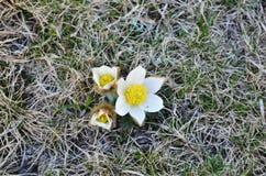 Alpine pasque-flower Stock Photo