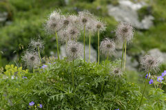 Alpine Pasque Flower Seeds Royalty Free Stock Photography
