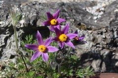 Alpine Pasque Flowers (Pulsatilla Halleri). Alpine pasque-flowers (Pulsatilla Halleri) in Innsbruck, Austria. These spring-flowering species produce crocus-like Stock Photo