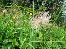 Infructescence of alpine anemone Pulsatilla alpina found in Switzerland stock photography