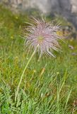 Alpine pasqueflower with fluffy seed head Royalty Free Stock Photo