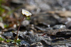 Alpine pasqueflower - Pulsatilla alpina. Alpine pasqueflower growing on the side of a small stream of ice water Royalty Free Stock Photo