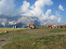 Alpine pasture with cows in foreground and view of Sesto Dolomites, South Tyrol, Italy in background Stock Photo