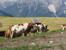 Alpine pasture with cows in foreground and view of Sesto Dolomites, South Tyrol, Italy in background Royalty Free Stock Images
