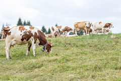 Alpine pasture with cows grazing Stock Photo