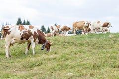 Alpine pasture with cows grazing Stock Photo