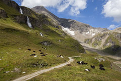 Alpine pasture with cows on the meadow Stock Photos