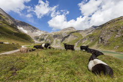 Alpine pasture with cows on the meadow Royalty Free Stock Photos