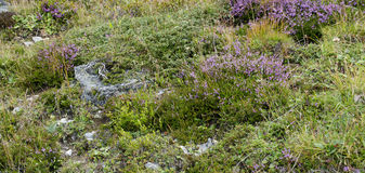 A alpine pasture Royalty Free Stock Photo