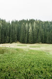 Alpine pasture and healthy forest of coniferous trees Stock Photos