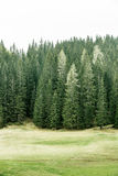 Alpine pasture and healthy forest of coniferous trees. Healthy coniferous trees in forest of old spruce, fir, larch and pine trees in wilderness area with alpine Royalty Free Stock Image