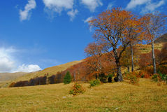 Alpine pasture with an old beech Royalty Free Stock Photo