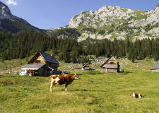 Alpine pasture, Slovenina. Cows grazing on a alpine pasture amongst rustic wooden shelters Stock Photos