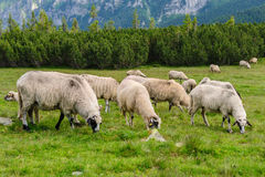 Alpine pastures in Retezat National Park Royalty Free Stock Image
