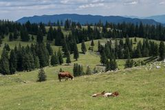 Alpine pastures in Slovenia in summer. Cows graze and relax among the mountains. stock images