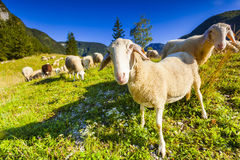 Alpine pastures in Slovenian Alps. Triglav National Park. Royalty Free Stock Image