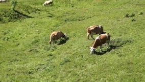 Alpine peaks landskape background. Jungfrau, Bernese highland. Alps, tourism and adventure hiking concept. Alpine peaks landskape background with grazing cows stock footage