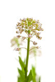 Alpine Pennycress Stock Photo