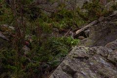 Alpine pika mouse hiding on stones Royalty Free Stock Image