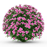 Alpine pink flowers isolated on white Royalty Free Stock Photography
