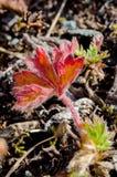 Alpine plant, Alpine meadow Royalty Free Stock Image