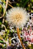 Alpine plant, Alpine meadow Stock Image