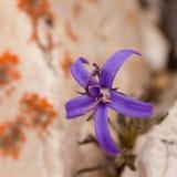 Alpine plant Inky Gentain Gentiana glauca flower. Wide open deep blue flower of Inky Gentain, Gentiana glauca, growing between rocks in alpine habitat Stock Images