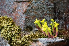 Alpine plants Royalty Free Stock Images