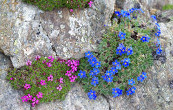 Alpine plants: Eritrichium nanum and Silene acaulis Stock Image
