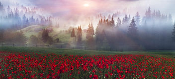 Alpine poppies in the Carpathians. Early morning sun rays illuminate the dawn beautiful Carpathian landscape in the mist on the background of ancient trees are royalty free stock photos