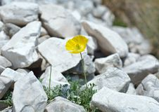 Alpine poppy (Papaver alpinum) Stock Images