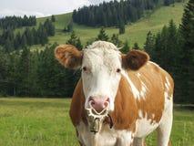 Alpine range fed dairy cow II Stock Photo