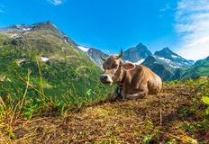 Alpine Region Cow Stock Photos
