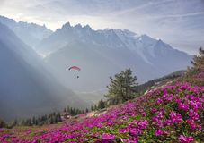 Alpine rhododendrons on the mountain fields of Chamonix royalty free stock photography