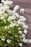 Alpine Rock-Cress Stock Images